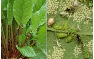 Wie man Blattläuse auf Sauerampfer loswird