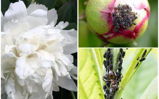Wie man Blattläuse auf Pfingstrosen los wird