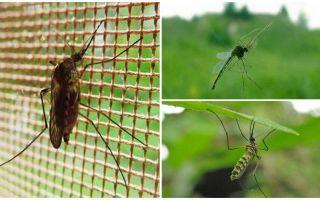 Wie hoch fliegen Mücken und Fliegen?