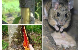 Wie man den Apfelbaum rettet, wenn die Rinde Mäuse schnappt