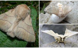 Beschreibung und Foto von Raupe und Seidenraupe Schmetterling