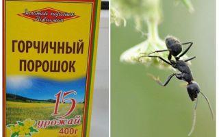 Senfpulver von den Ameisen und Blattläuse im Garten