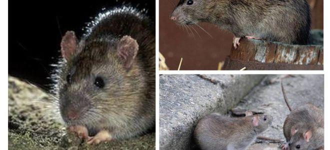 Graue Ratte