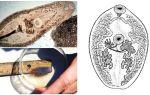 Beschreibung von Trematoden