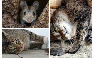 Essen Katzen und Katzen Mäuse?