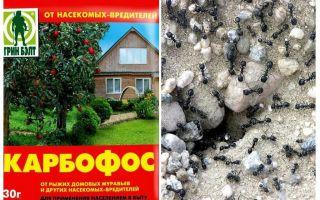 Ameisen anthis im Garten