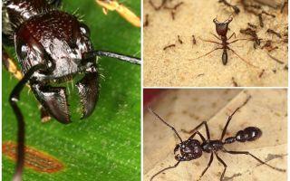 Ameisen-Kugel