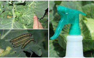 Wie man Schmetterlinge und Kohlraupen loswird