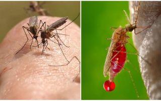 Wie oft kann ein Mückenstich beißen?
