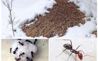 Was machen Ameisen im Winter?