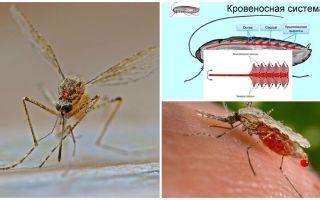 Interessante Fakten über die Struktur von Mücken