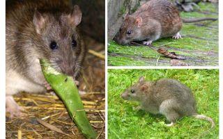 Wie sehen Ratten aus?