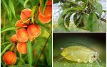 Wie man mit Blattläusen auf Pfirsichvolk und Einkaufsmitteln umgeht