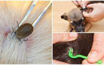 Wie man eine Zecke von einem Hund zu Hause entfernt