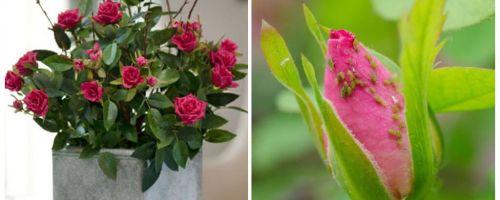 Blattläuse auf Rosen - wie man damit umgeht und wie man es los wird