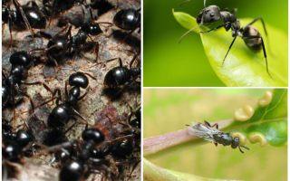 Arten von Ameisen in Russland und der Welt