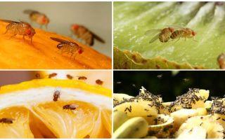 Drosophila fliegt