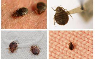 Ob Käfer in Kissen und Decken leben