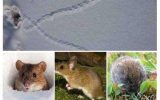 Spuren von Mäusen im Schnee
