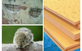 Essen Mäuse extrudierten Polystyrolschaum