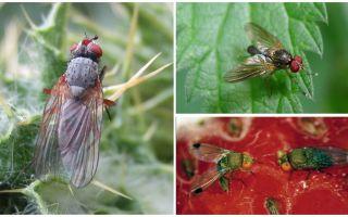 Wie man mit einer karminroten Fliege umgeht