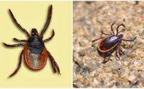 Was ist Enzephalitis Tick, sein Foto und Beschreibung