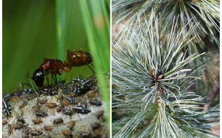 Blattläuse am Weihnachtsbaum und wie man damit umgeht