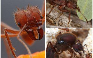 Ameisen Blattschneider