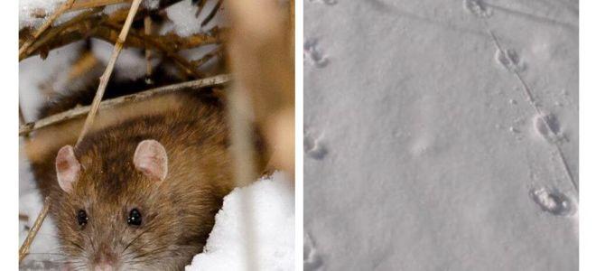 Wie sehen Rattenspuren im Schnee aus?