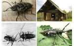 Käfer Holzfäller Foto und Beschreibung