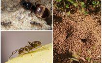 Garten schwarze Ameisen