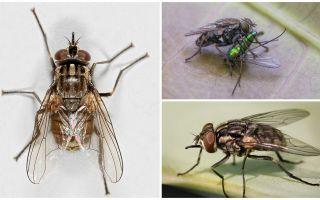 Beschreibung und Foto der Fliege zhigalki