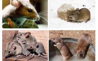 Interessante Fakten über Mäuse