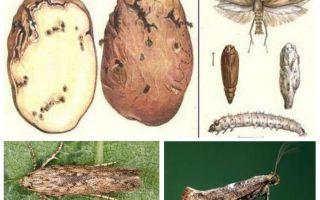 Kartoffelmotte - Lagerkontrollmaßnahmen