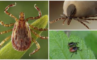 Zeckenartige Käfer