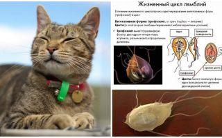 Symptome und Behandlung von Giardia bei Katzen