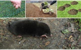 Wie man Maulwürfe aus der Datscha oder dem Garten vertreibt