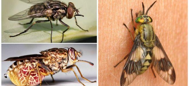 Sorten von Fliegen mit Fotos und Beschreibungen