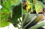 Wie man Blattläuse auf Zucchini loswird