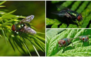 Beschreibung und Foto der grünen Aasfliege