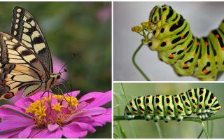 Beschreibung und Foto der Raupe des Machaon-Schmetterlings