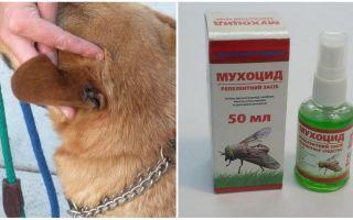 Wie und was die Ohren eines Hundes vor Fliegen behandeln