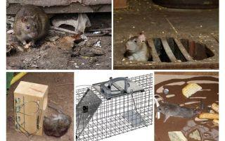 Wie man Ratten aus dem Keller Volksmedizin entfernt