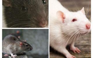 Ratte Vision