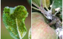 Wie man Blattläuse auf Apfelbäumen loswird