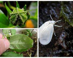 Wie man die weiße Fliege auf Innenblumen loswird
