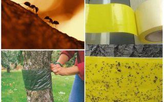 Wie man mit Ameisen in den Bäumen im Garten umgeht