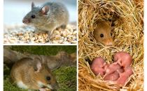 Die Lebensdauer von Mäusen