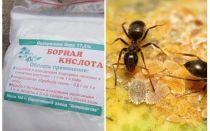 Borsäure gegen Ameisen in der Wohnung und im Garten
