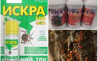 Wie man mit Ameisen und Blattläusen auf Apfelbäumen umgehen kann